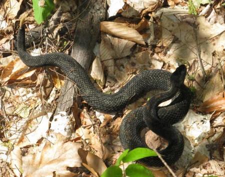 Timber Rattlesnake (Photo courtesy of Douglas Yu)