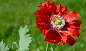 Red Poppy, by Jill Piper (Atea Ring Gallery, Westport, NY)