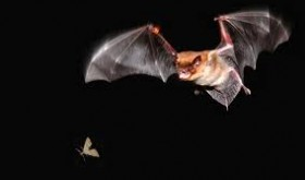 Bat about to eat a bug