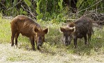 Feral Pigs in Champlain Valley