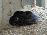 Joe Racette Demystifies Timber Rattlesnakes