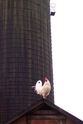 Rooster at Full and By Farm