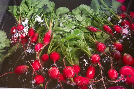 Radishes at Full and By Farm (Credit: Sara Kurak)