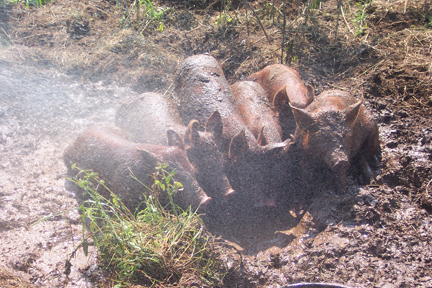 Pigs at Full and By Farm (Credit: Sara Kurak)