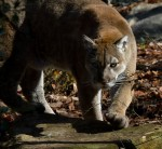 Cougar Sightings in and around Essex