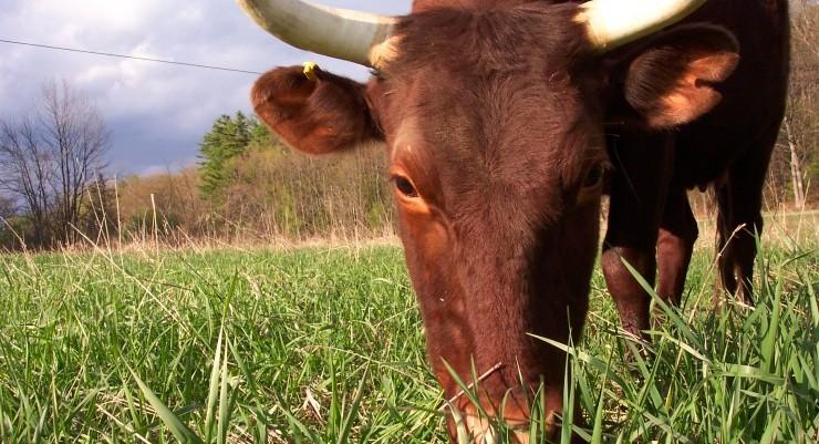 Full and By Farm Bull 740x400 Credit: Sara Kurak