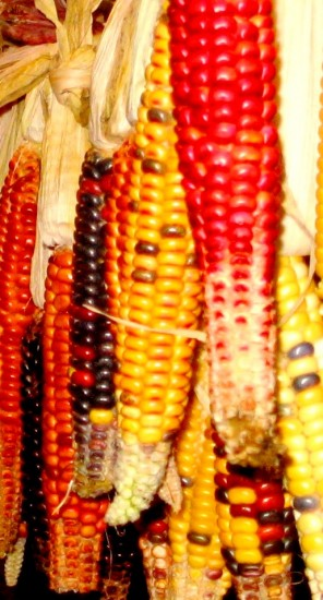 Painted Mountain corn drying for later use in colorful cornbread (Photo: Dillon Klepetar)