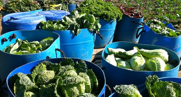 Buckets of summer veggies at Essex Farm! (Credit: Kristin Kimball)