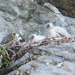 Opsrey and chicks seen at the Palisades (Credit: Elizabeth Lee)