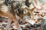 Economic and Social Reasons for Wolf Restoration