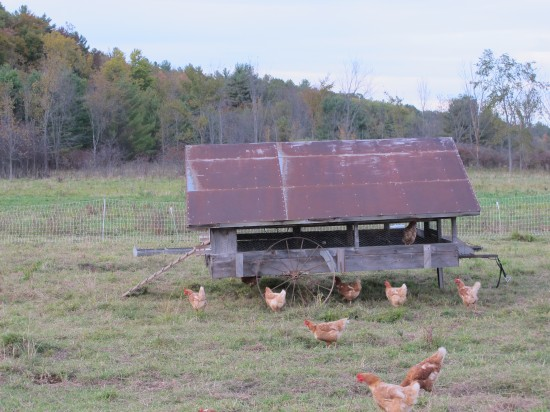 Chickens at Full and By Farm (Credit: virtualdavis)