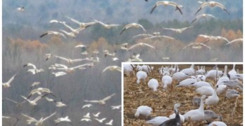 Snow Geese collage (Eve Ticknor) 740