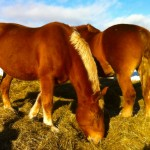 Horse on Essex Farm - Jan. 2015 (Credit: Kristin Kimball)