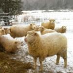 Sheep on Essex Farm, Feb. 2015 (Credit: Kristin Kimball)