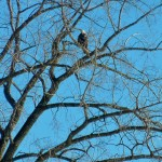 Sandy Point Bald Eagle (Credit: Kristen Eden)
