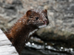 Stinky Mink Featured on Mountain Lake PBS