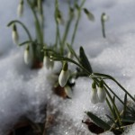 Snowdrops in the snow (Credit; Pixabay)