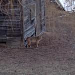 Bobcat (Credit: Kathryn Cramer)