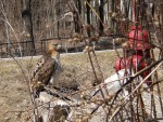 Red Tailed Hawk?