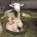 First set of lambs born at Essex Farm this year. (Credit: Kristin Kimball)