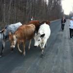 Heifers on Parade (Credit: Sara Kurak)