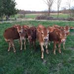 Calves on Essex Farm, spring 2015 (Credit: Kristin Kimball)