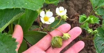 Strawberries growing on Essex Farm, May 2015 (Credit: Kristin Kimball)