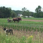 Cultivating a field with the draft horses at Essex Farm. (Credit: Kristin Kimball)