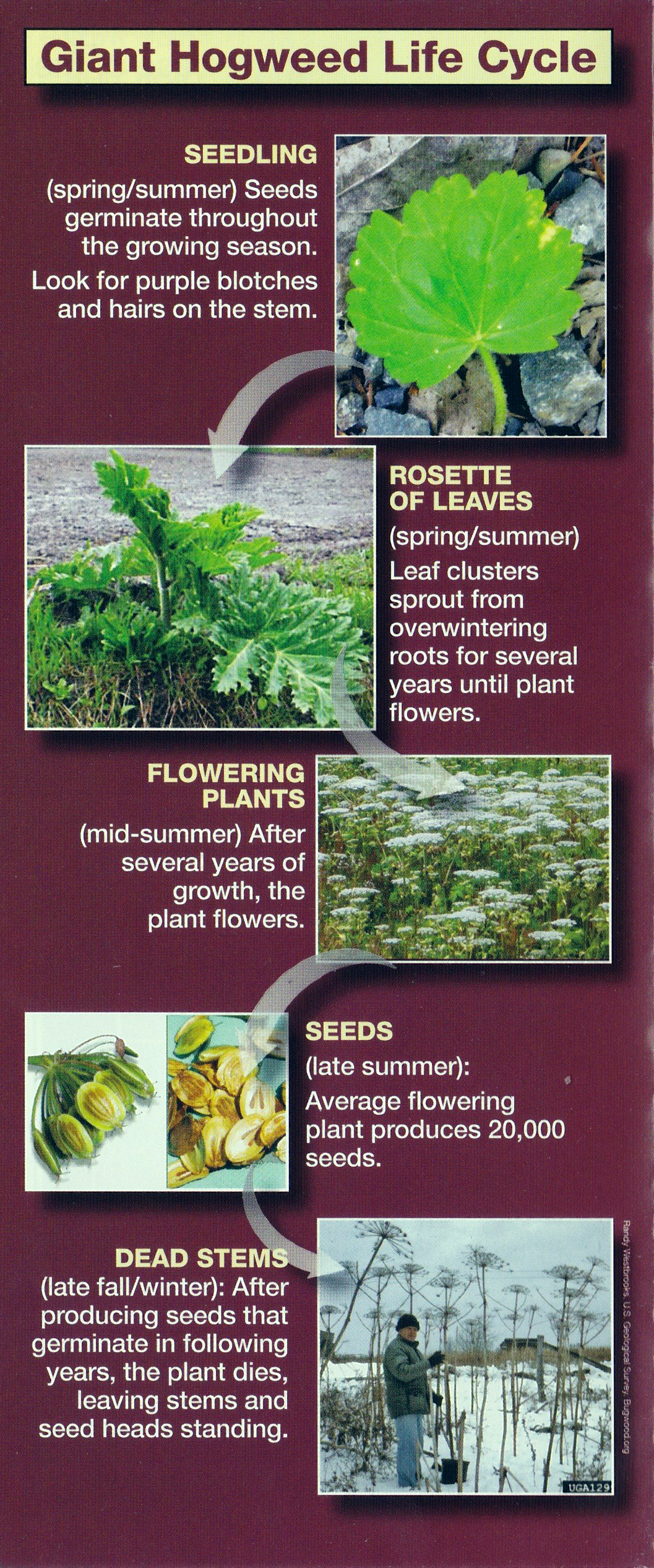 Life Cycle Of Giant Hogweed Credit Nydec Click To Enlarge