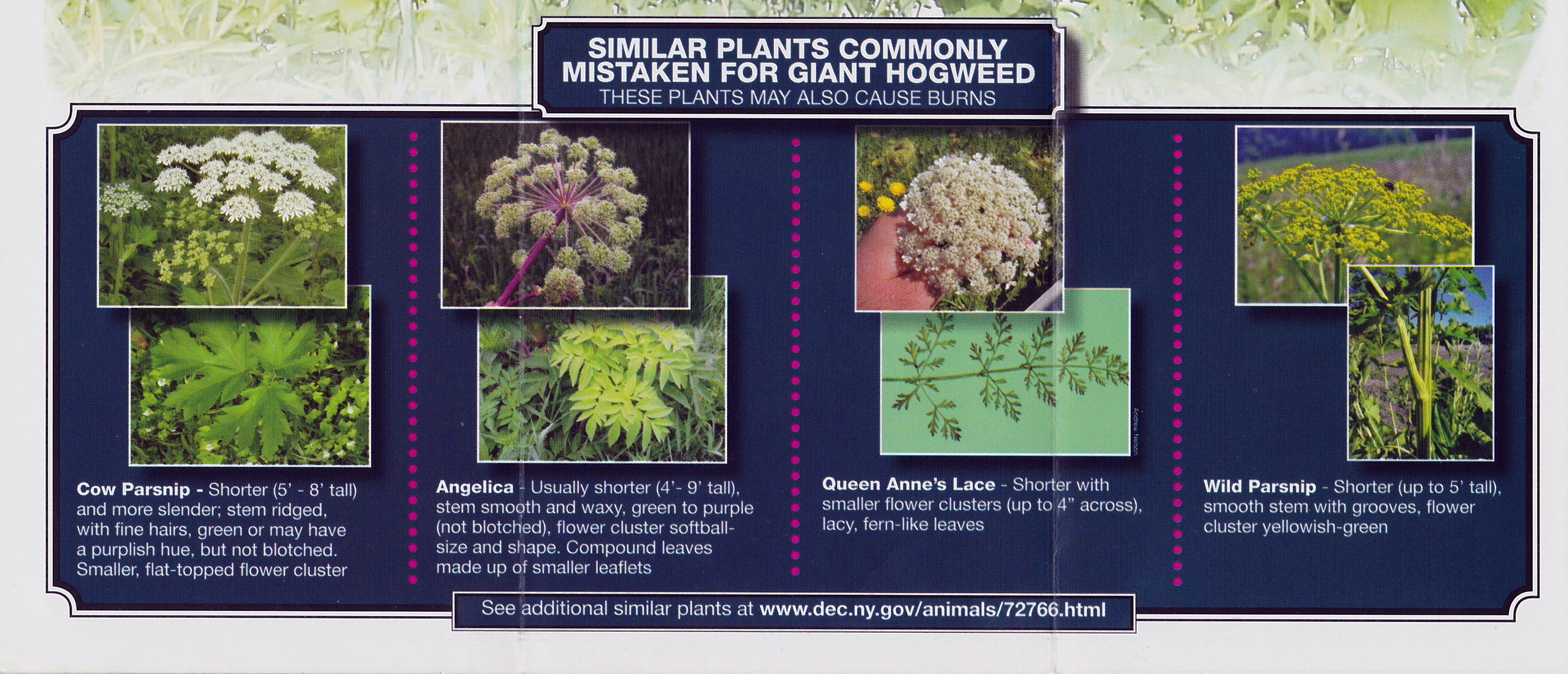 Common Plants Mistaken For Giant Hogweed Credit Nydec Click To Enlarge