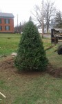 Town Tree Planted for Holidays