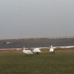 Snow Geese By Whallons Bay