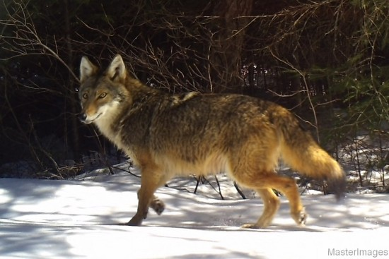 Coyote by Larry Master (www.masterimages.org)