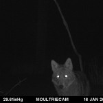 Welcoming the CoyWolf: Whoever It May Be