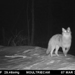 Wrong to Kill Coyotes, Wolves and CoyWolves