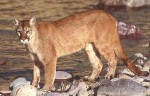 Video: Crown Point Cougar?