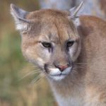 Have You Seen A Cougar In the Adirondacks? (Adirondack.net)