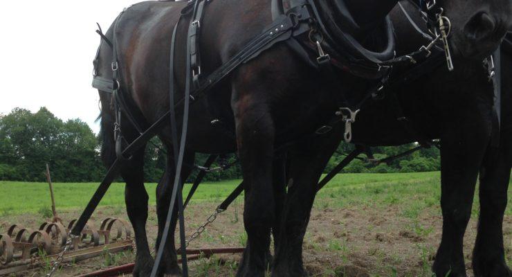 team of black Percheron mares — Pat and Pearl (Credit: Lala Niemetz)