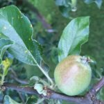 Holistic Orcharding Tips