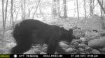 Split Rock Wildlife Sightings: Bear, Bobcat, Coyote