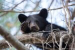 Protecting Black Bears in New York