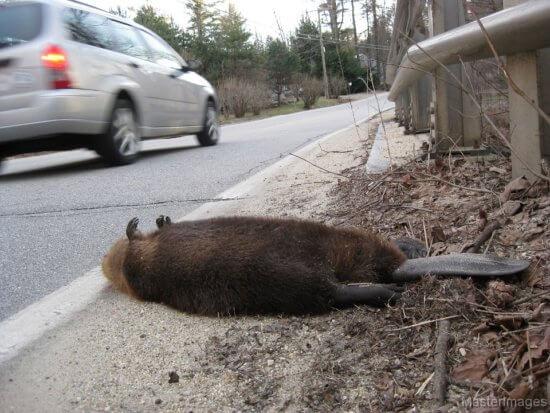 Beaver Roadkill by Larry Master