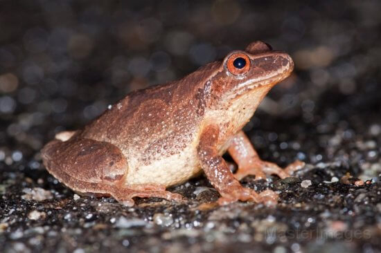 Spring Peeper by Larry Master