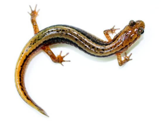 Northern Two-lined Salamander (Credit: Brian Gratwicke)