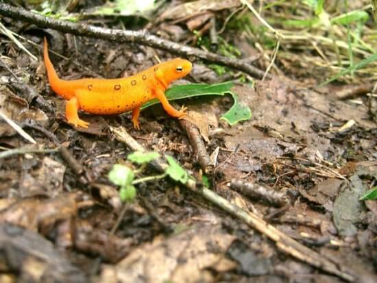 The Eastern Newt, also known as the Red Eft (Credit: Pixabay)