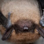 BATS: Our Flying Mammal Neighbors